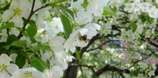 bumblebee on white crabapple blossum