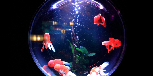 A round fishbowl with red goldfish