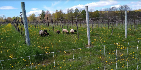 Blue sky, green grass, and sheep grazing between weathered posts in what the viewer may not know is a vineyard.