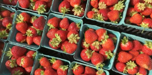 UVM's Catamount Farm strawberries