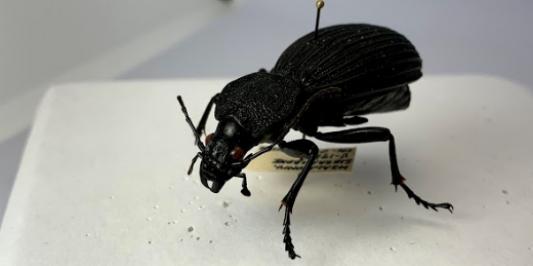 a pinned black beetle