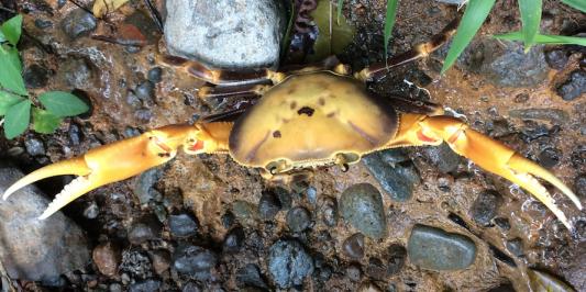 yellow crab on pebbles