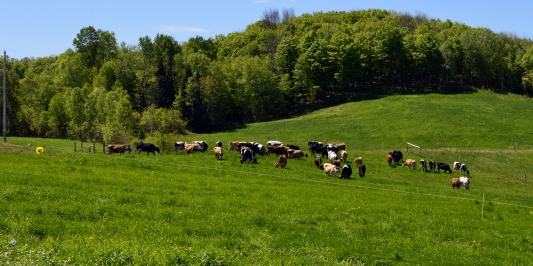 mixed herd of cows grazing green hill