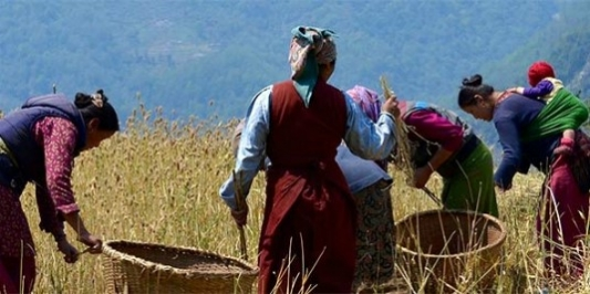 Women collecting grain into baskets