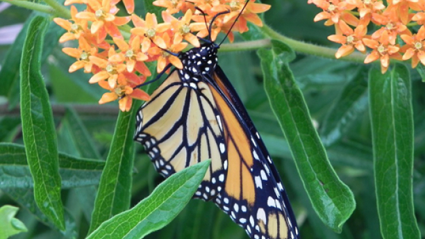 monarch butterfly pauses on a native milkweed plant