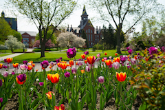 Tulips blooming on campus in the springtime.