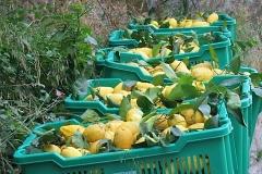 lemons in Italy