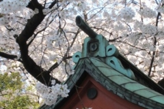 Cherry blossoms at the Hanazono shrine in Tokyo