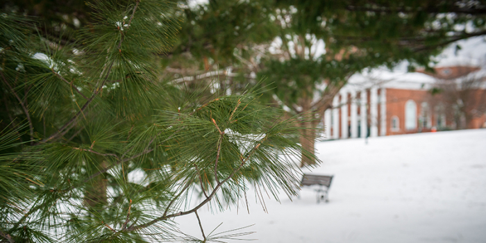 pine tree in winter on UVM green