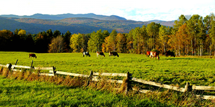 A cow grazing on a farm with a mountain behind it.