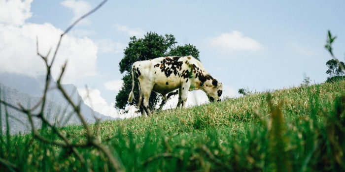 white and black cow standing on a hill eating grass