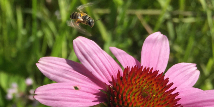 A bee hovers midair above a pink flower