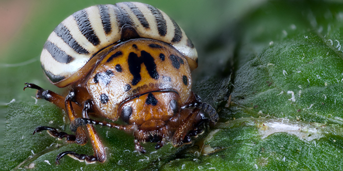 Macro shot of a colorado potato beetle, sitting on a leaf