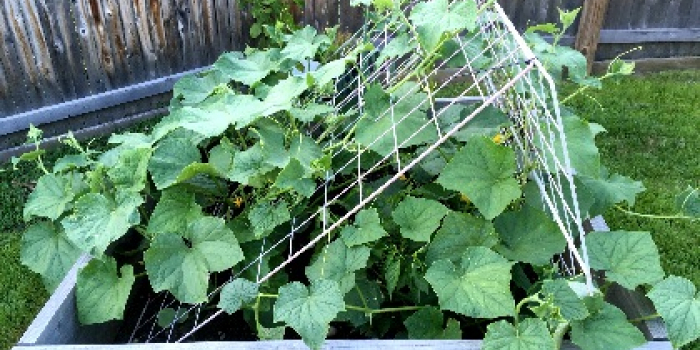 Cucumbers growing from a garden