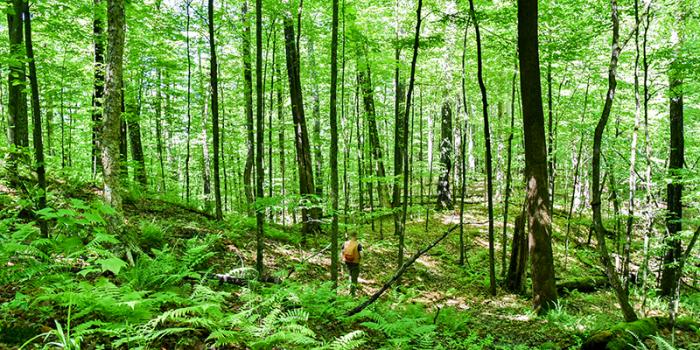 Professor Bill Keeton walks in leafy green Jericho Research Forest