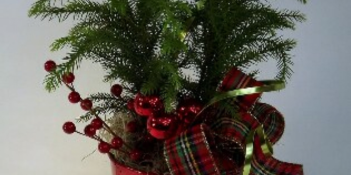 norfolk island pine in red flower pot decorated with white lights red berries and red plaid bow