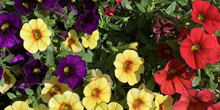 purple yellow and red miniature petunias in bloom