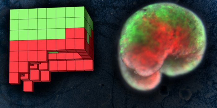 Computer-designed organisms. Left is simulated design, right is deployed physical green and red organism.
