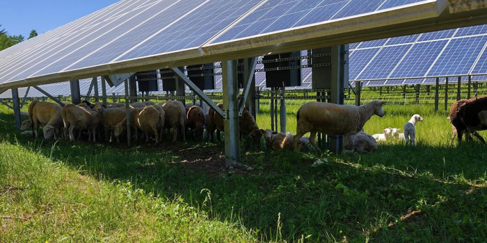 image description: white sheep grazing under solar panels under a blue sky with bright green grass