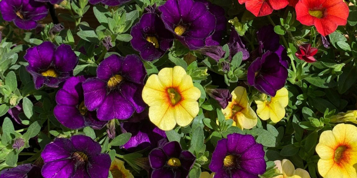 purple yellow and red miniature petunias