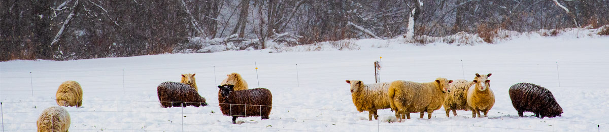 A flock of sheep outside in a snow covered field.