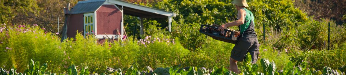 farmer harvesting vegetables at the uvm hort farm