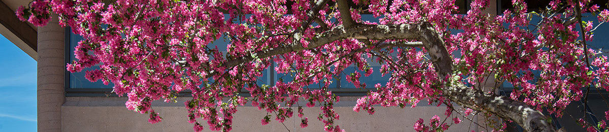 pink blossoms on tree in spring