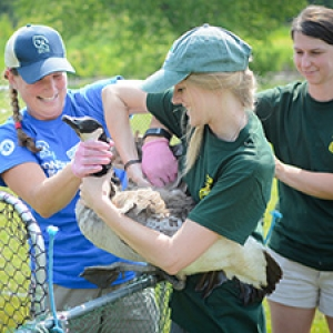 Student intern works with Vermont Fish and Wildlife to tag a goose
