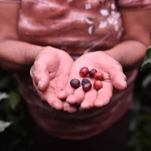 Hands holding raw coffee beans