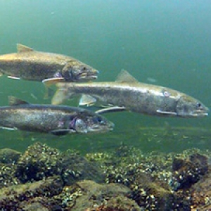 Lake trout under water