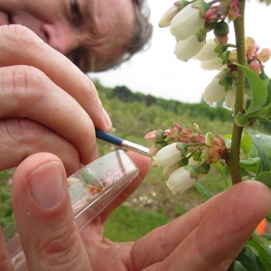 Researcher studying blueberries and pollinators