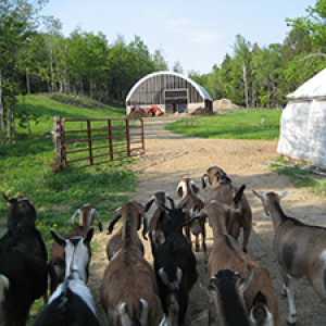 image description: brown and white goats walking along a road towards the milking barn