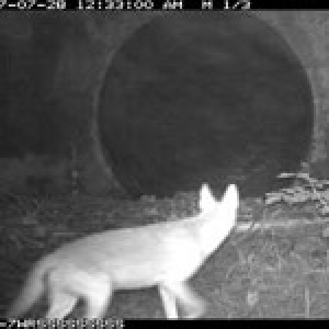 a remote camera photo of a coyote about to pass thru a culvert