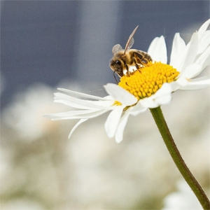 Bee in daisy