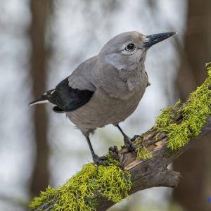 a Clark's nutcracker perched on a branch