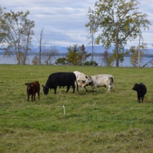 cows on green pasture