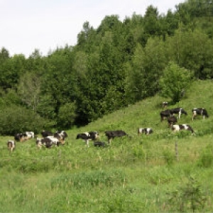 Cattle grazing on biodiverse pasture