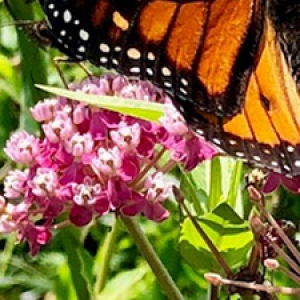 pink milkweed flowers with monarch