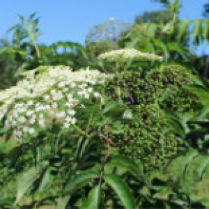 Elderberry flowers and green berries