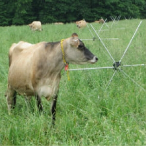 Grazing Cows with a Wheel
