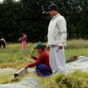 2013 Rice Harvest: a Community Gathering