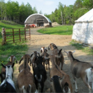 Group of goats heading to pasture