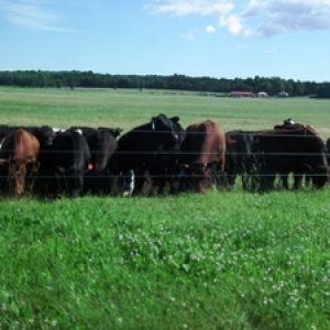 Cows on Well-Managed Pasture near Lake Champlain