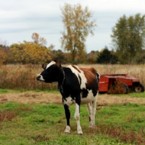 Cows Can Learn to Eat Weeds