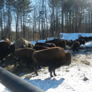 NH Buffalo on Woodchip Pad in Winter