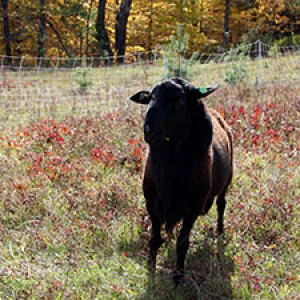 Sheep in Fall Pasture
