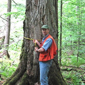 Researcher measures diameter of old growth tree