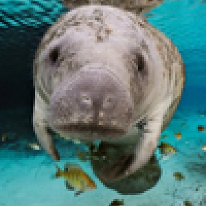 manatee - ecosystem services in Cuba