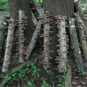 Fruiting Shiitake Logs