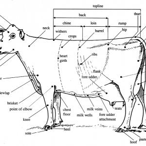 Cow body parts
